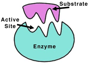 (http://vignette1.wikia.nocookie.net/gcse/images/3/34/Enzyme.jpg/revision/latest?cb=20080317075936)