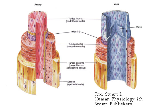 (http://4.bp.blogspot.com/_MxP9XQgGOxY/S-GAyyVZ-0I/AAAAAAAAACA/bKz6pMovgsk/s1600/artery-vein.jpg)