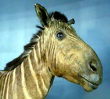 An image of a quagga, a type of zebra. The quagga has a horse/zebra like face and stripes similar to a zebra. (http://www.bbc.co.uk/schools/gcsebitesize/science/images/21c_quaggaelvis.jpg)