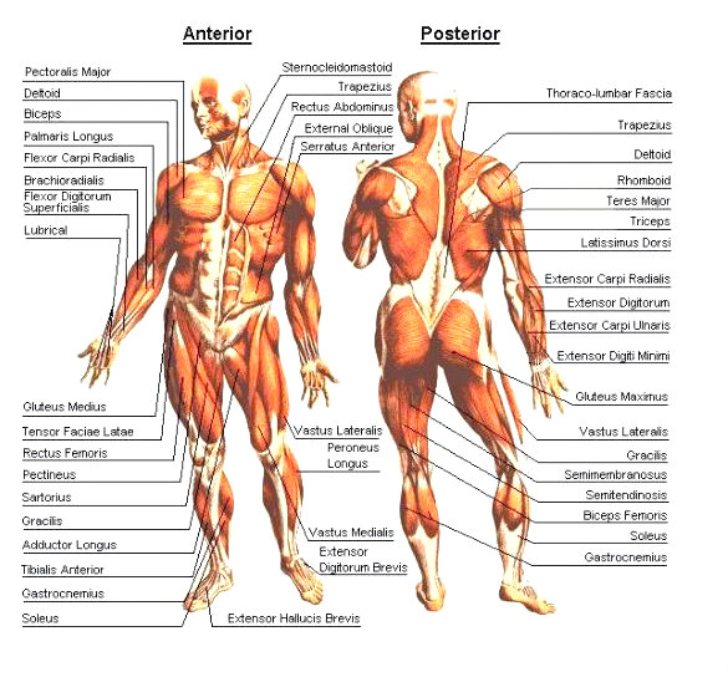 (http://pm.b5z.net/zirw/1378716890800/i/u/6118363/i/muscle_diagram.jpg)