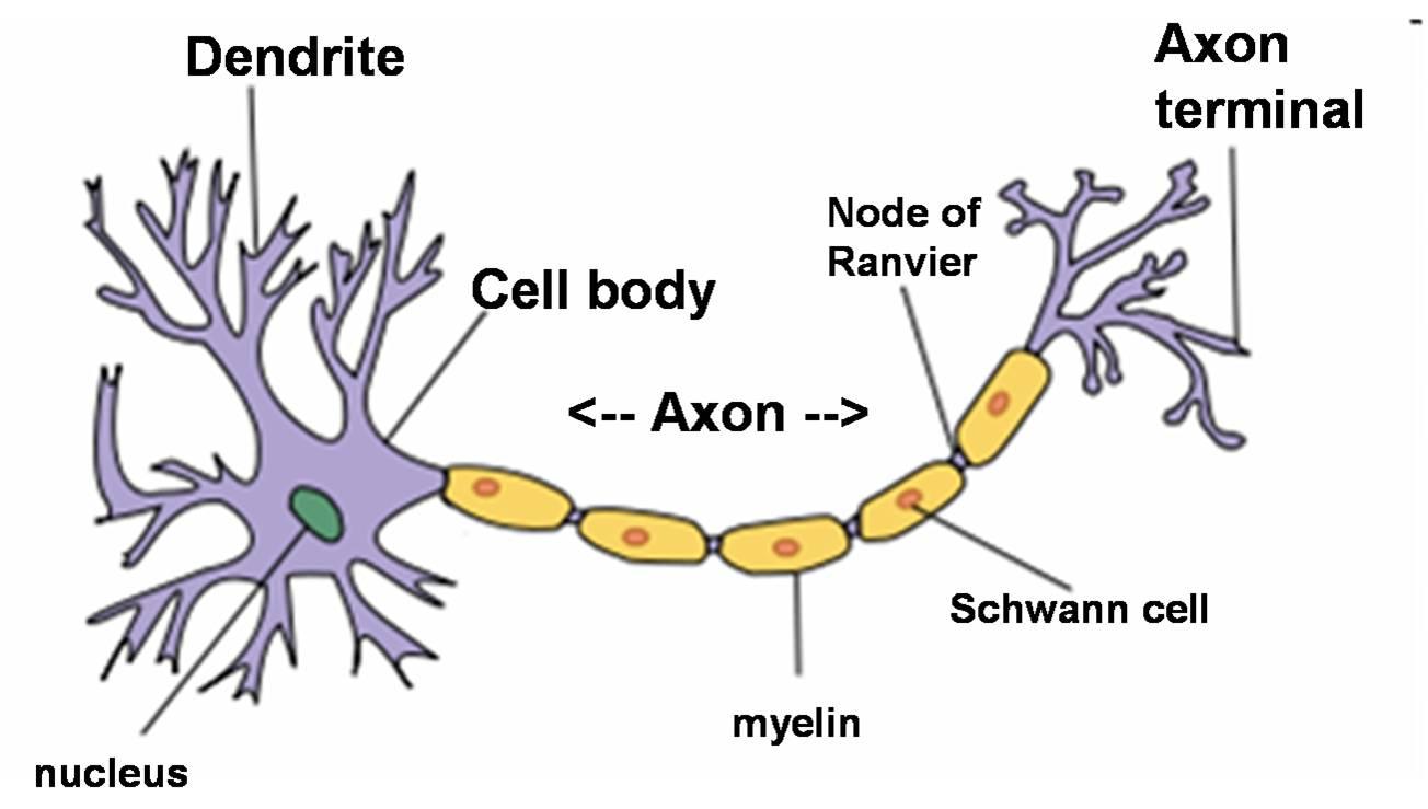 (http://paradigmchange.me/wp/wp-content/uploads/2014/09/neuron.png.jpg)