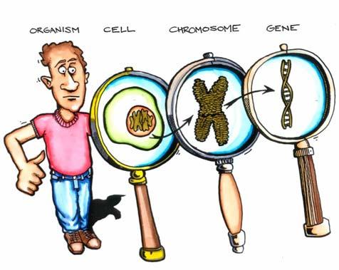 (http://www.angelo.edu/faculty/mdixon/HumanBiology/cellgene.jpg)