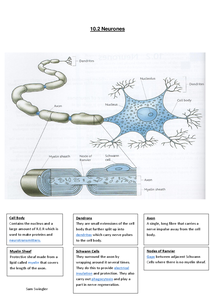 Preview of 10.2 Neurone A2 Biology AQA