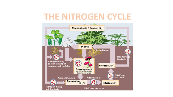 Preview of 6.3 The Nitrogen Cycle