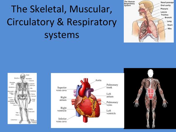 Preview of A guide to the skeletal, muscular, respiratory and circulatory systems