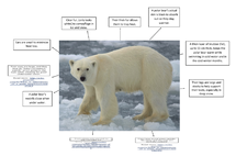 Preview of Adaptations in polar bears