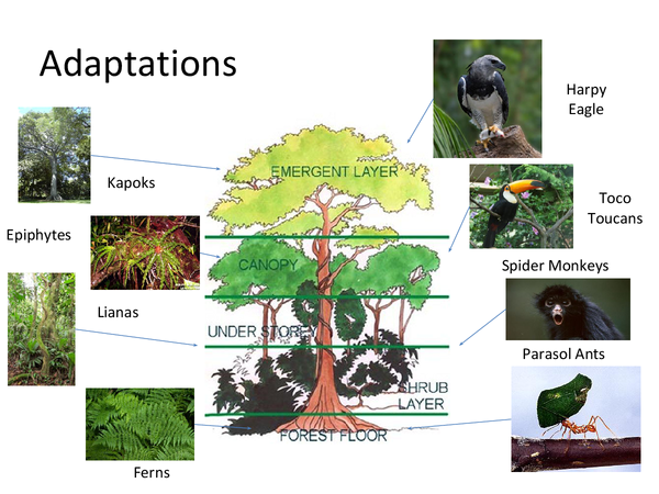 Preview of Adaptations to the Tropical Rainforest