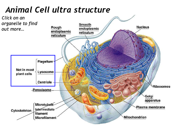 Preview of Animal cell ultra structure