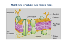 Preview of AS Biology OCR Unit 1 Module 1, OCR, AS, Biology, Cell exchange and Transport, Fluid Mosaic Model
