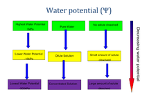 Preview of AS Biology OCR Unit 1 Module 1, OCR, AS, Biology, Cell exchange and Transport, Water Potential