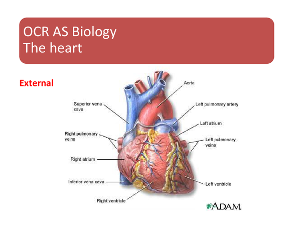 Preview of AS Biology - The Cardiac Cycle