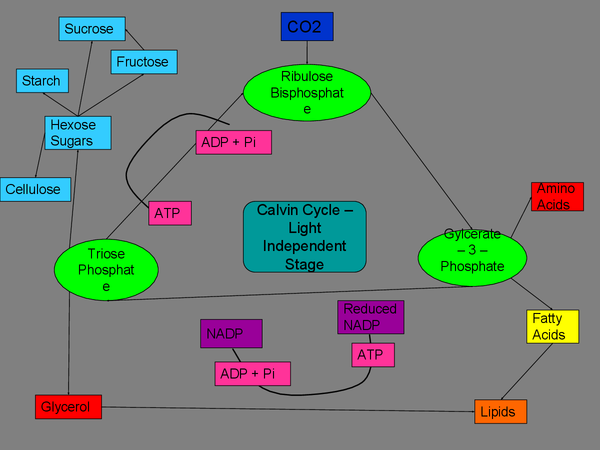 Preview of Calvin Cycle A2 OCR Biology