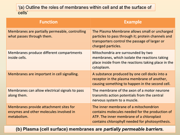 outline the roles of plasma membrane This page lists the main functions of the cell membrane plasma membranes are present in both eukaryotic cells (including plant cells and animal cells.