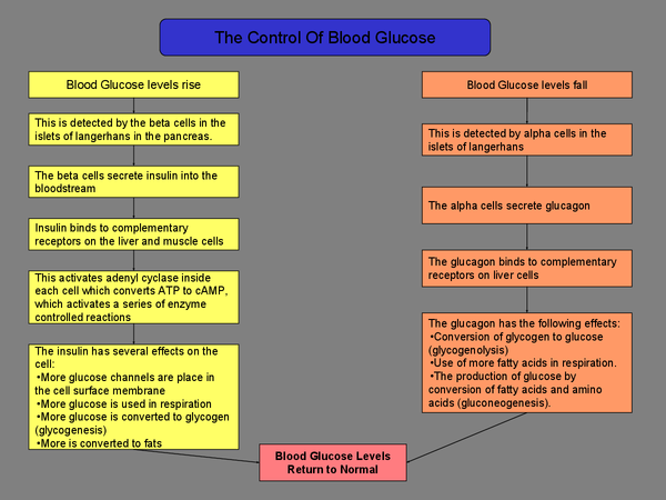 Preview of Controlling Blood Glucose - A2 OCR Biology