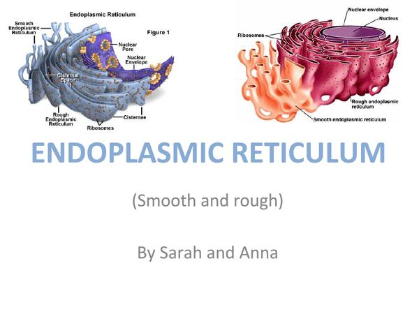 Preview of Endoplasmic reticulum presentation