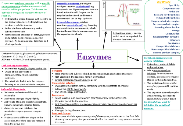 Preview of Enzymes As Unit 2 OCR biology