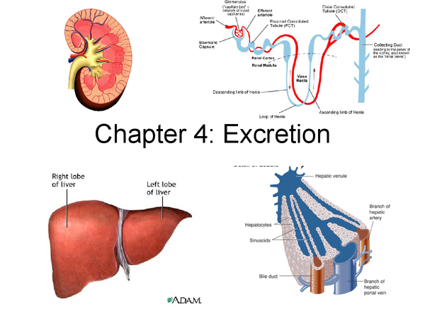 Preview of Excretion Revision Powerpoint