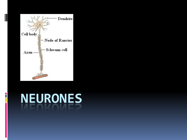 Preview of HBIO4 chapter 5 Neurons