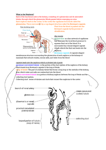 Preview of help understand the basics of the nephron