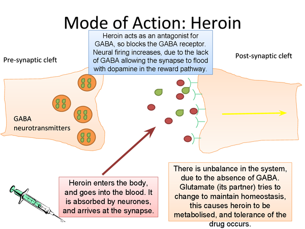 Preview of Mode of Action of Heroin (The Synapse and Reward Pathway)