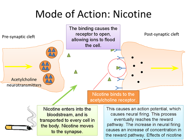 Preview of Mode of Action of Nicotine  The Synapse and the Reward