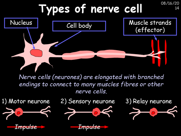 Preview of Nerves, Reflexes And Synapses