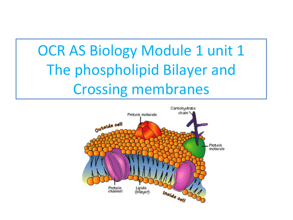 Preview of OCR AS Biology Module 1 Phospholipid Membranes and Transport
