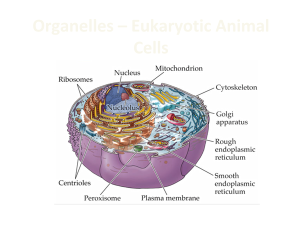 Preview of OCR AS Biology Revision; Cell Organelles