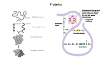 Preview of Proteins Notes - AS OCR Biology Unit 2