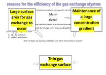 Preview of reasons for the efficiency of the human gas exchange system