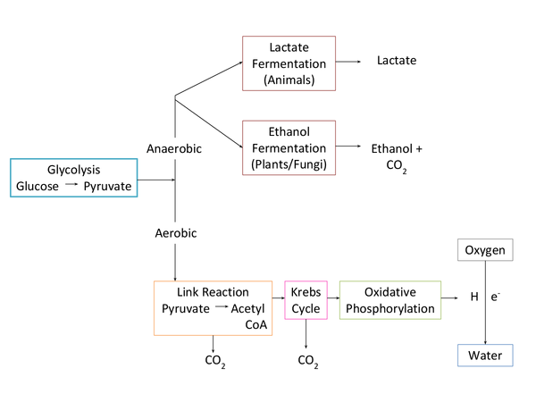 Preview of Respiration Cycles OCR