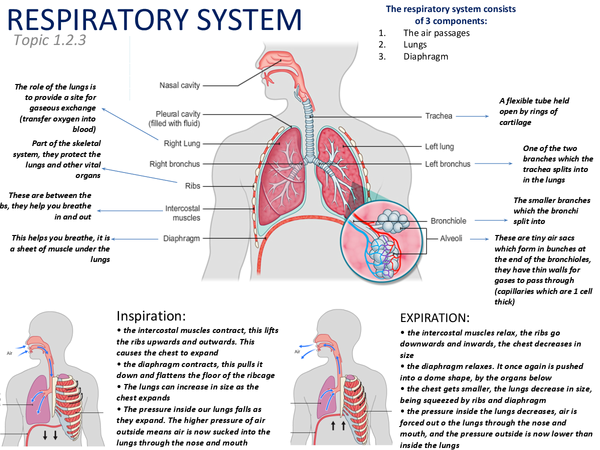 Preview of Respiratory System (1.2.4) poster