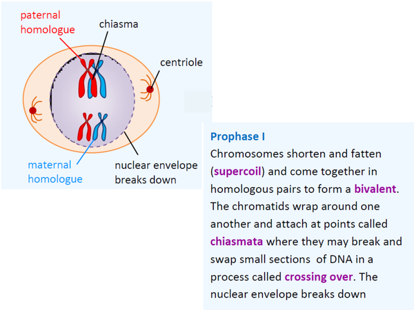 Preview of Stages of Meiosis Cue Cards