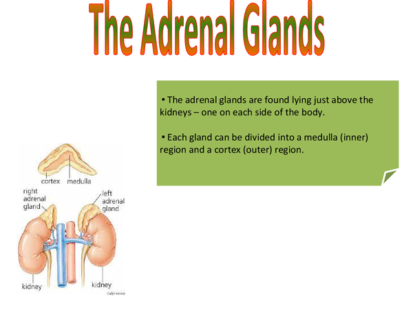 Preview of The Adrenal Glands