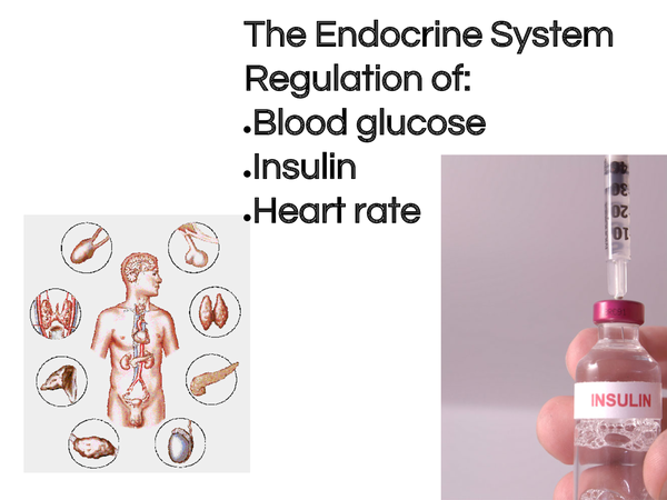 Preview of The endocrine system plus regulation of glucose, insulin and heart rate
