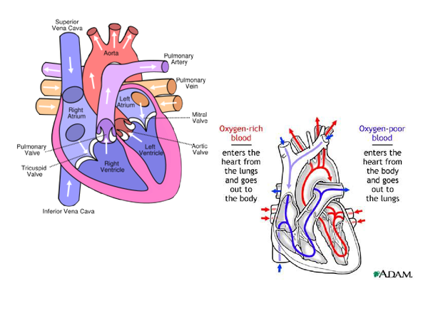 Preview of The Heart - Parts and Blood Flow