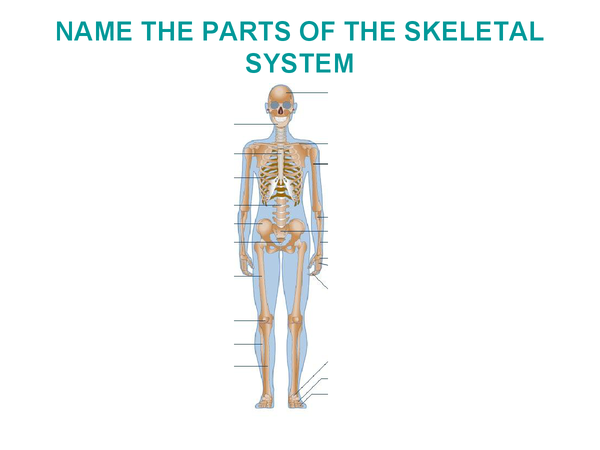 Preview of The skeletal system presentation