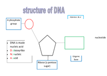 Preview of the structure of DNA and RNA