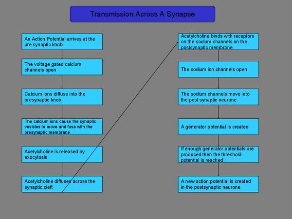 Preview of Transmission across a Synapse -A2 OCR Biology