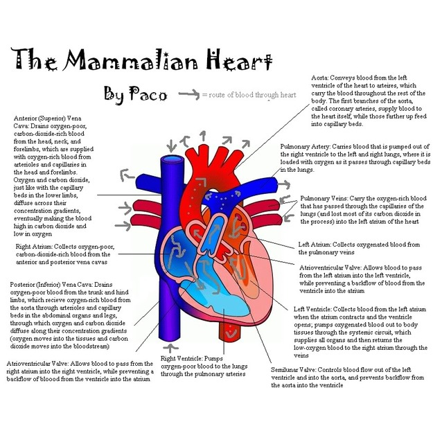 Cross-section diagram of heart - Image in IGCSE Biology